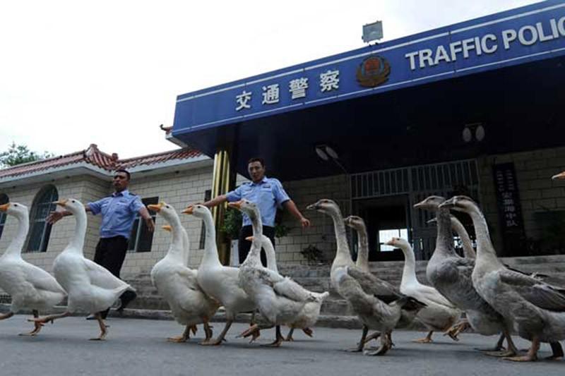 Возможно, скоро гуси полностью заменят китайской полиции собак. Они хорошо зарекомендовали себя благодаря великолепному зрению и высокой степени агрессивности.